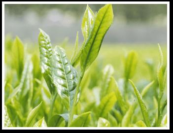 静岡県産高級茶葉使用